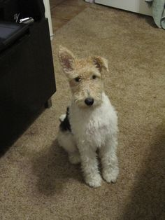 Wire Fox Terrier-One ear up. Looks like the stereo isn't working properly ! Cute dog though.