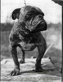 BULLDOG~CIRCA 1915