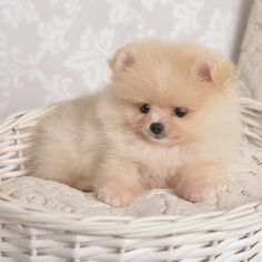 My MaltiPom, age 9 weeks, looks very much like this purebred Pomeranian pup right now.  In other words, simply adorable :-).
