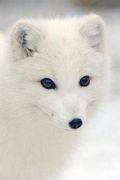 Arctic Fox...beautiful animal!