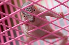 A newborn baby pangolin climbs the walls of a cage during a news conference at Thai customs in Bangkok on April 20, 2011.