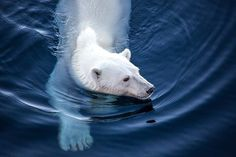 Swimming Polar Bear in Eastern Greenland Photo by JD Andrews - 2016 National…