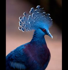 Victoria Crowned Pigeon- Goura victoria, is a large, bluish-grey pigeon with elegant blue lace-like crests, maroon breast and red iris. The bird may be easily recognized by the unique white tips on its crests. By Steve Wilson http://www.flickr.com/photos/pokerbrit/6772919508/#