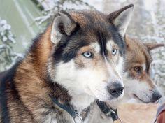 Huskies at Levi, Finnish Lapland