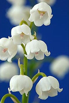 Lily of the Valley-Our Lady's Tears. These flowers are said to have blossomed from Mary's tears for her Son as she stood at the foot of the Cross.