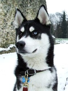 Husky...this looks so much like my late, beloved dog, she was the best in the world...gentle as a kitten.