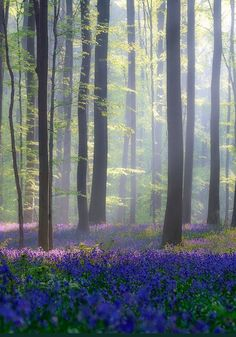 Hallerbos (Halle Forest), Belgium | the hallerbos dutch for halle forest is a forest in belgium covering ...