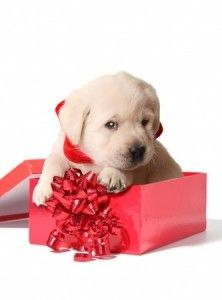 A Christmas Puppy?