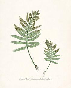 Vintage Botanical Giclee Art Print Ferns of by HighStreetVintage