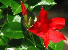 Tutorado de la Dipladenia Sanderi - http://www.floresyplantas.net/dipladenia-sanderi/
