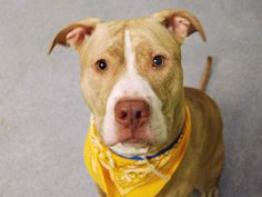 I'M TOTALLY BROKEN NYC ACC MURDERED THIS WONDERFUL BOY 11/13/16 THIS IS SO EVIL AND SICK11/13/16 LISTED TO BE MURDERED BY NYCACC BY NOON TODAY! SUPER URGENT Manhattan Center PRINCE aka CLINTON – A1087421 (ALT ID A1095756) ***RETURNED 11/03/16***SAFER : EXPERIENCED HOME** MALE, BR BRINDLE / WHITE, PIT BULL MIX, 2 yrs STRAY – NO HOLD , HOLD FOR ID Reason STRAY Intake condition UNSPECIFIE Intake Date 11/03/2016, From NY 10474, DueOut Date 11/06/2016,