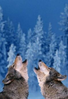 Wolves, I love pictures of howling wolves, LoL, not sure why. I think it's because I can identify. LoL
