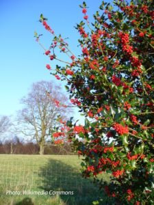 Possumhaw Deciduous Holly