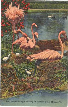 Vintage Florida Postcard - Miami - Hialeah Park - Flamingos Nesting