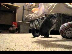 More chinchilla tricks. - YouTube