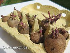 Kartoffeln vorkeimen und vorziehen