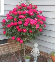 AA 50 Red Rose tree Seeds, DIY Home Garden Potted ,Balcony & Yard Flower Plant