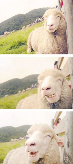 Cheesin sheep