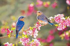 Spring Bluebird mates