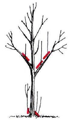 Almafa gondozása, metszése - gazigazito.hu Tree Pruning, Garden Trees, Small Trees, Trees And Shrubs, Fruit Trees, Permaculture, Grape Vines, Vegetable Garden, Backyard