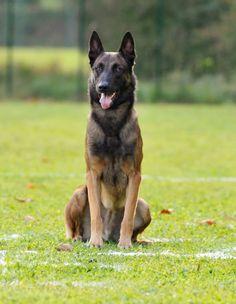 Black Belgian Malinois, Belgian Malinois Puppies, Belgian Shepherd, German Shepherd Dogs, Belgium Malinois, Cat Shaming, Dog Whisperer, Purebred Dogs, Schaefer
