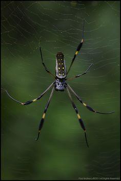 Fotografia Golden Orb Spider (Nephilia clavipes) de Paul Bratescu na 500px