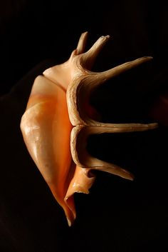 A spider conch sea shell ('Shankh' in hindi) ¿ES GUAPA. Shell Game, Shell Collection, Shell Beach, Nautilus, Foto Art, Sea And Ocean, Sea World, Ocean Life, Marine Life