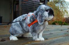 "Neptunens London ""Laban"" #bunny #rabbit #magpie #minilop"