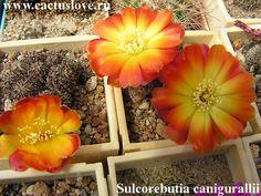 Sulcorebutia canigueralii