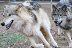 Wolf  Ambassadors  Join our  Facebook group to follow the wolves, pictures  and regular updates!