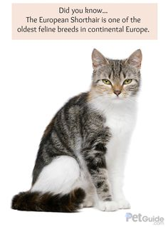 Today, the European Shorthair may be the most common feline in Europe, and it may also be the oldest feline breed in continental Europe.
