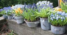 force bulbs in containers ... this may be the solution to the animals eating the bulbs from our yard! I do so miss my daffodils and tulip beds!