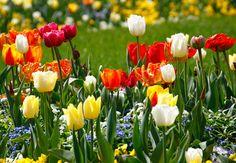 Mit den ersten längeren Sonnenstrahlen erwacht auch die Flora vor Ihrer Haustür. Kaum ist der Schnee geschmolzen, könnt Ihr euch über die ersten Frühlingsboten wie Krokusse und Schneeglöckchen freuen. Voraussetzung ist, dass Ihr schon im Herbst fleißig wart, denn die meisten Frühblüher müssen im September oder Oktober gesetzt werden. Der Klassiker unter den Frühlingsblumen sind Tulpen, sie punkten vor allem durch ihre große Farbauswahl.