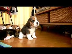 Beagles first days... first bark, playing, first steps :-)