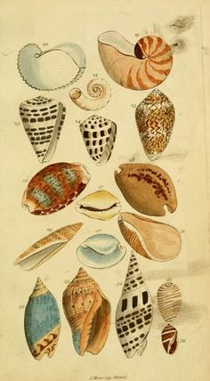 All information about Vintage Seashell Illustration. Pictures of Vintage Seashell Illustration and many more. Printable Animals, Seashell Art, Starfish, Nature Illustration, Am Meer, Beach Art, Sea Creatures, Natural History, Vintage Prints