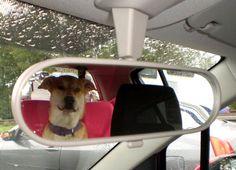 Staff-Eurasier-Mix Loona  .endlich Feierabend..Taxiiii!!!!       Mehr lesen: http://d2l.in/8c  dogs2love - Gassi gehen zum Verlieben. Partnerbörse für alle, die Hunde lieben.  Dating, Foto, Hund, Single