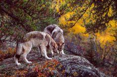 WOLVES by Jim Brandenburg