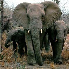 Elephants:)