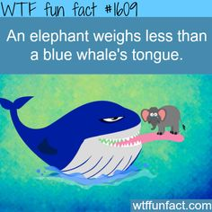 The biggest land-living animal, the elephant, weighs less than a blue whale's tongue.