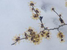 "Hamamelis - in the midst of winter blossoms one tree . In german it's called ""Zaubernuss"" - magic nut . One Tree, Blossoms, German, Magic, Winter, Witch Hazel, Deutsch, Flowers, German Language"