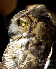 Great Horned Owl photograph, art prints starting at $17