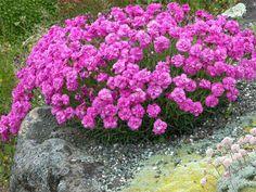 DIANTHUS Windward Rose