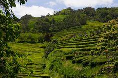 #Azores tea fields at #Gorreana tea estate