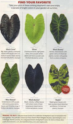 "Types of elephant ears – love the ""Mojito"" Southern Living, July 2013 - tropical garden ideas"