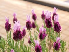Lavender can be pink!