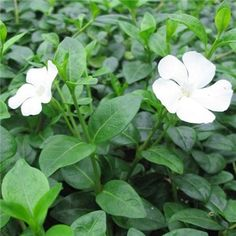 Vinca minor 'Alba' Periwinkle from Treadwell Plants Best Ground Cover Plants, White Flowers, Beautiful Flowers, Agave Plant, Seed Pods, Flowering Trees, Planting Seeds, Shade Garden, Periwinkle