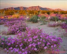 flowers-in-arizona-desert-  LIVED IN PHOENIX FOR 10 YEARS AND NEVER TIRED OF THE BEAUTIFUL SCENERY OF THE DESERT