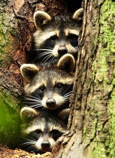 Three babies in a tree hole