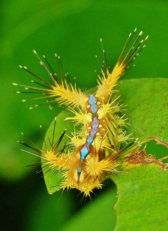 Nettle Caterpillar (Limacodidae) | Flickr - Photo Sharing!