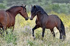 CERBAT Mustangs >>>> The Cerbat Mustang is a feral horse breed that originated in Arizona and can still be found on the Cerbat HMA in that state. Their main coat colors are chestnut, bay, and roan. Their phenotype is similar to the classic Colonial Spanish Horse. They are recognized by the Spanish Mustang registry.